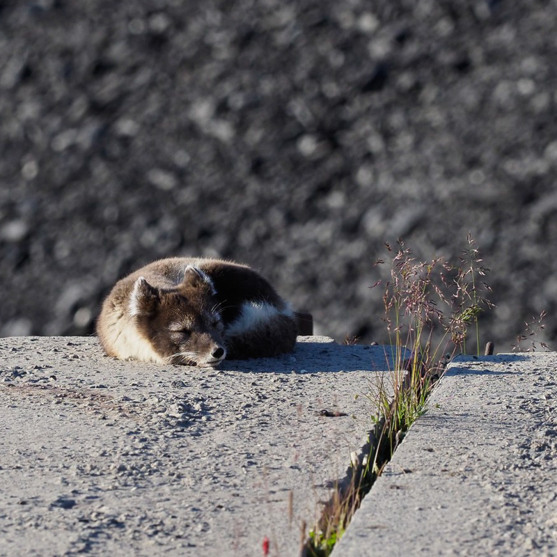arctic-expedition-baby fox1