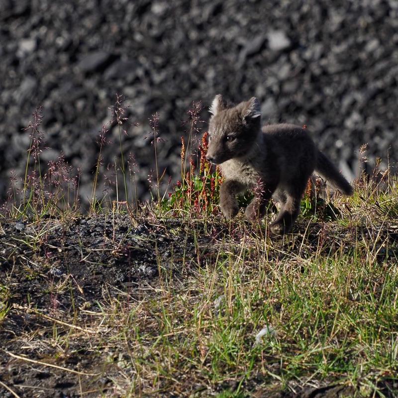 arctic-expedition baby fox